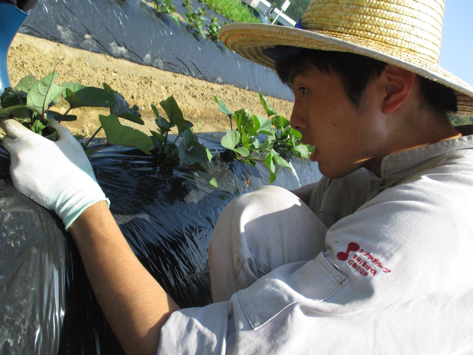 澁谷食品株式会社/【年間休日105日/農業】畑の土作りからさつま芋苗の植付、収穫・出荷まで
